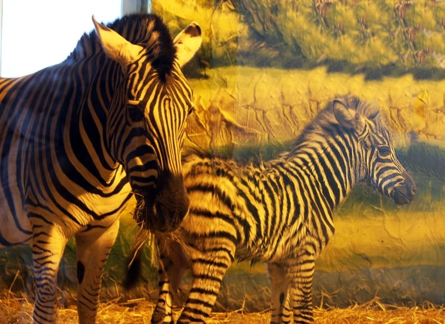 Нижегородский зоопарк объявил конкурс по выбору имени для зебры - фото 1
