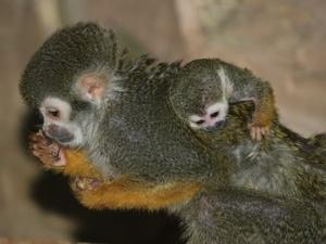 Детеныш саймири родился в нижегородском зоопарке