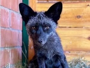 Лисица переехала из зоопарка «Мишутка» в Балахну