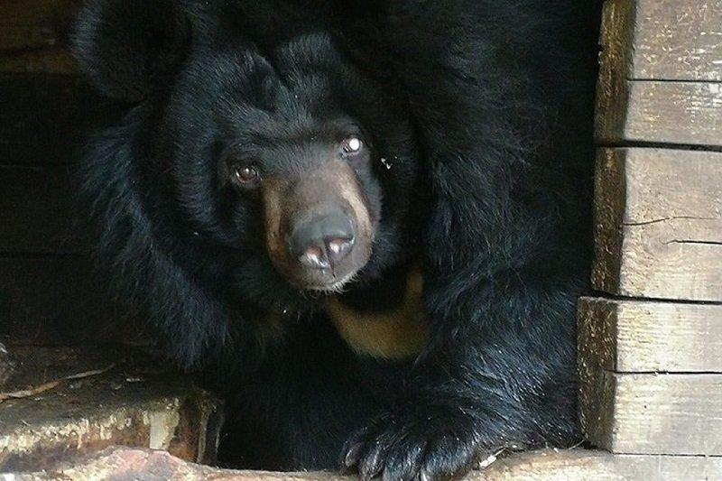 Одноглазая медведица Даша переехала в нижегородский «Лимпопо» - фото 1