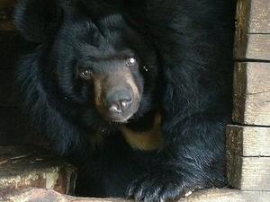 Одноглазая медведица Даша переехала в нижегородский «Лимпопо»