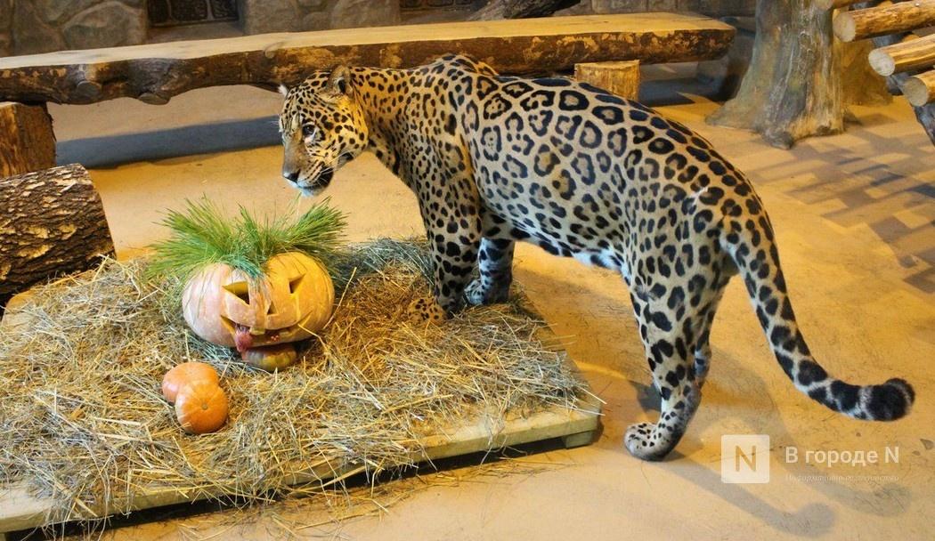 Конкурс на самую большую тыкву объявил нижегородский зоопарк «Лимпопо» - фото 1
